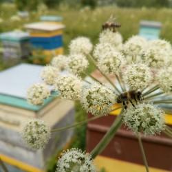 Таёжный мёд, дягилевый, 2019г