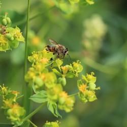 Пчела на цветке молочая