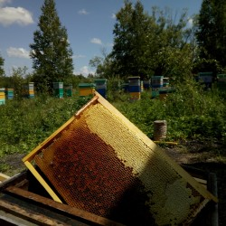 Весенний (ивовый) сибирский мёд, 2019г